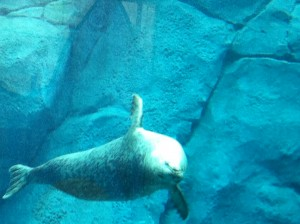 Upsidedown seal at Assiniboine Park Zoo